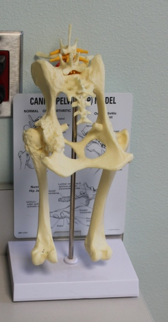 Seeing how a dog's anatomy works helps demystify the proposed surgery.