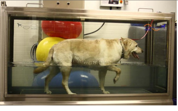 Doggie walking on an underwater treadmill during rehabilitation. The water buoys up the dog and provides gentle resistance, which is therapeutic.