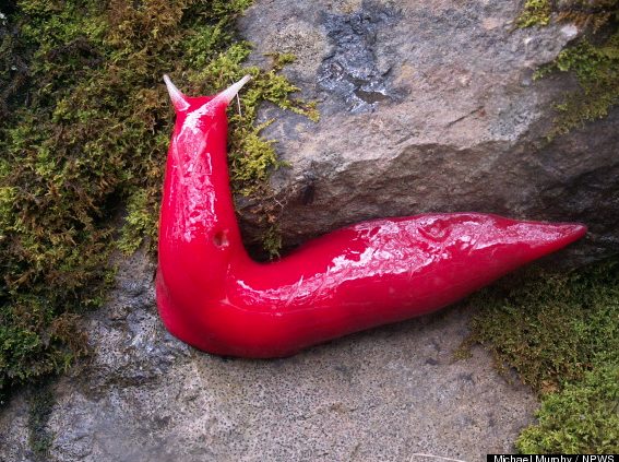 "The pink slugs, found only on a mountain in Australia,  are ""relics"" of a time when Australia was joined to much of the world as part of a vast supercontinent known as Gondwana, or Gondwanaland. (The past lives on in the present. Look for it.)"