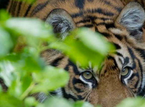 Sumatran tiger from http://www.businessinsider.com/indonesian-men-trapped-in-tree-by-tigers-2013-7