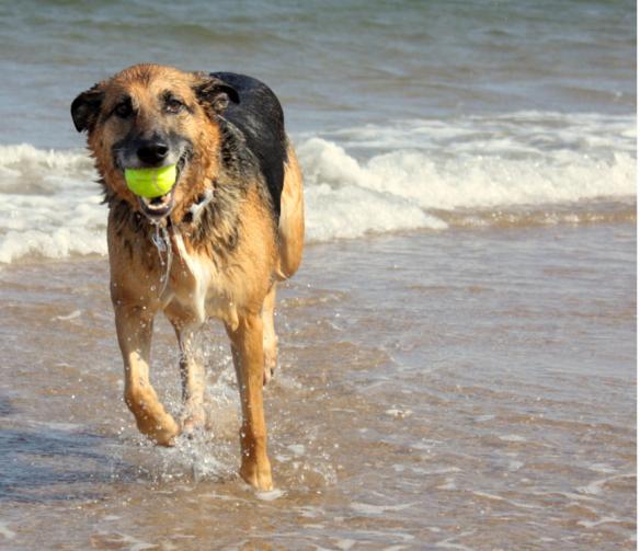 Joyful dog with tennis ball. Photo: http://travelerofcharleston.com/blog/wp-content/uploads/2012/05/dog-at-beach.jpg