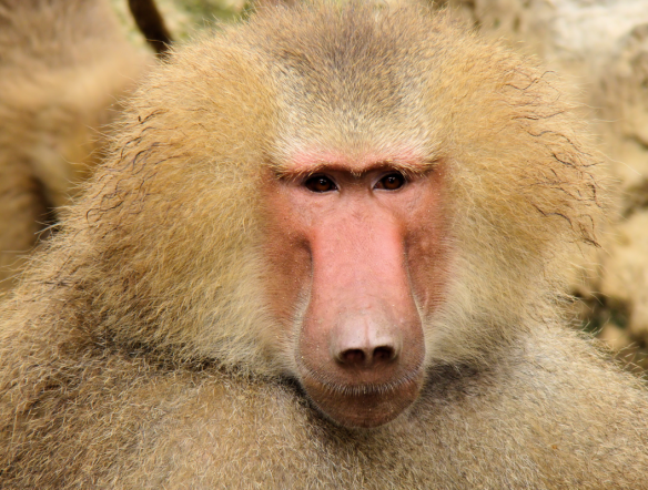 Photo credit: Portrait_Of_A_Baboon.jpg en.wikipedia.org