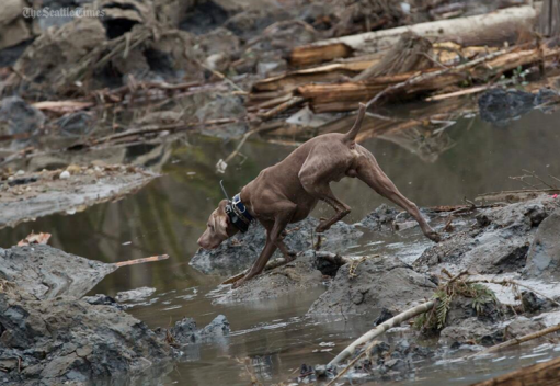 On the job -- tracking scents undetectable to humans. Dogs were key to Oso Landslide rescue efforts.