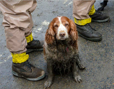 Returning from the search, a four-legged rescue worker.